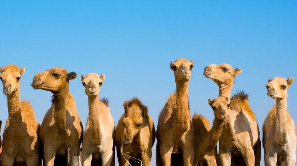 animals_hero_camels